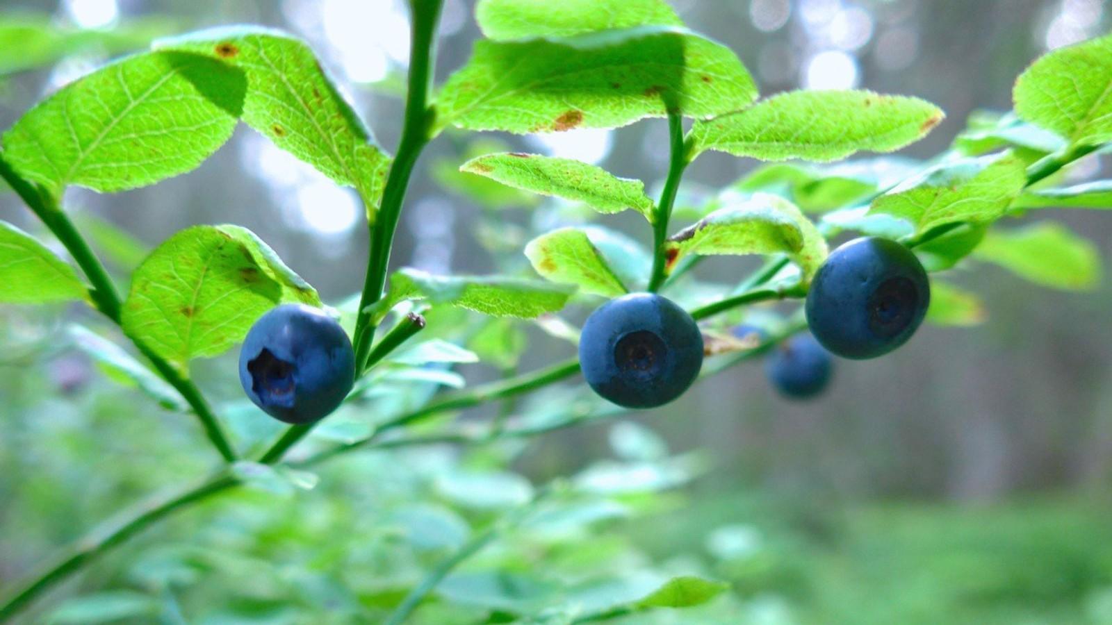 Blåbær i Bymarka
