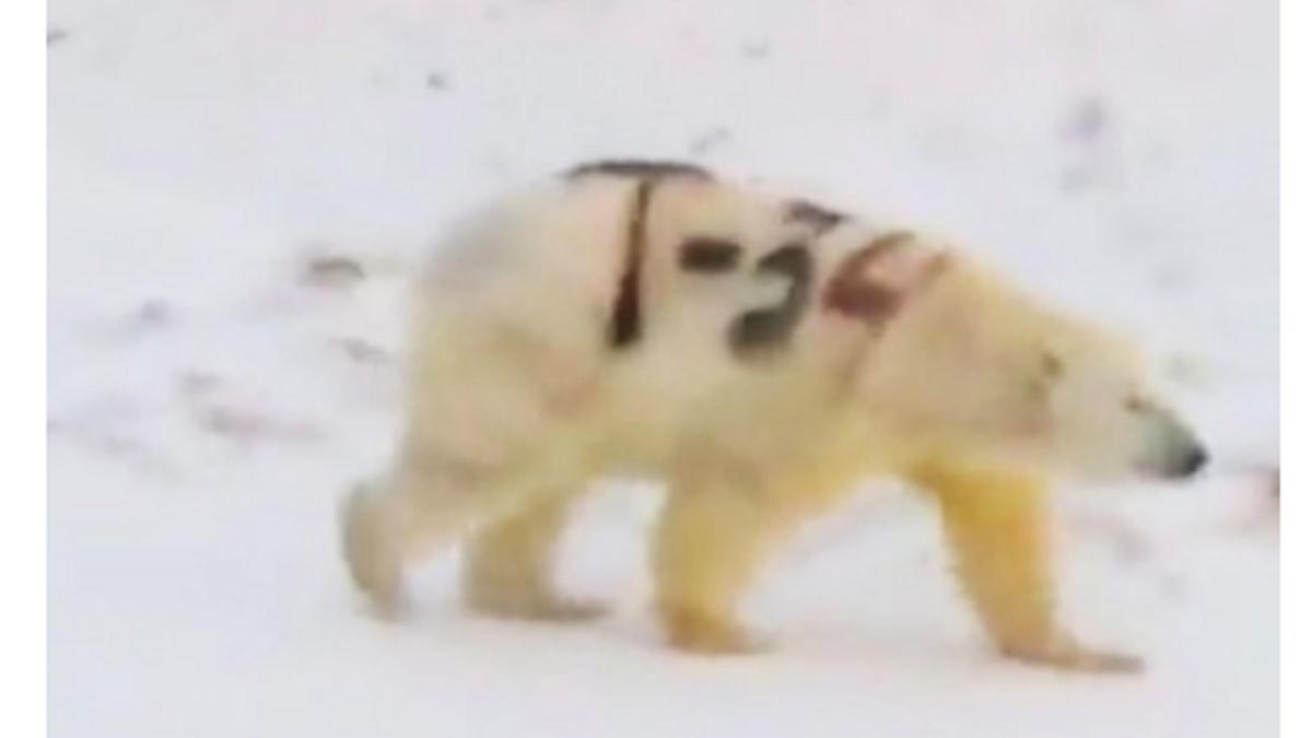 Isbjørn i Russland tagget med svarte bokstaver skaper voldsomme reaksjoner