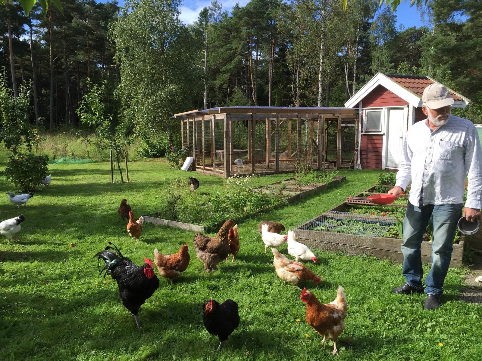 Sveins høner har det godt. Hønemøkk er gratis gjødsel.