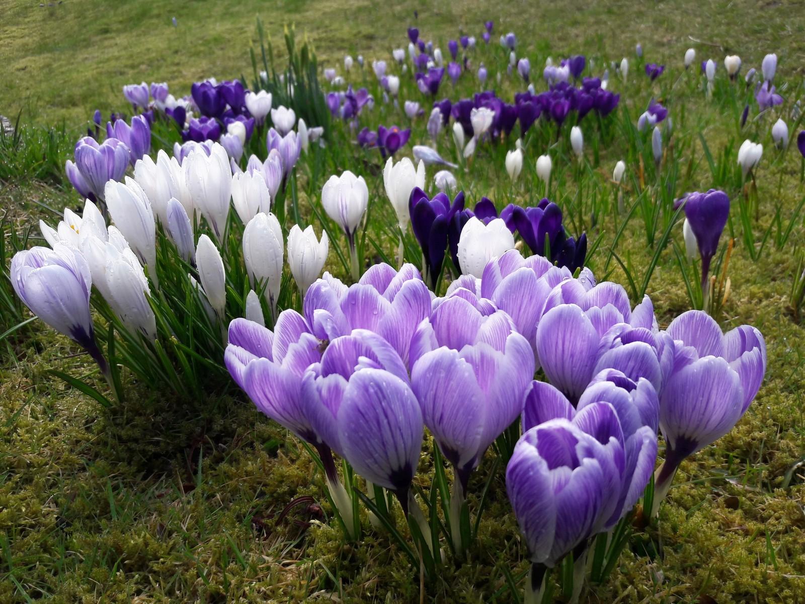 Krokusen blomstrer i Kvernevik, Stavanger.