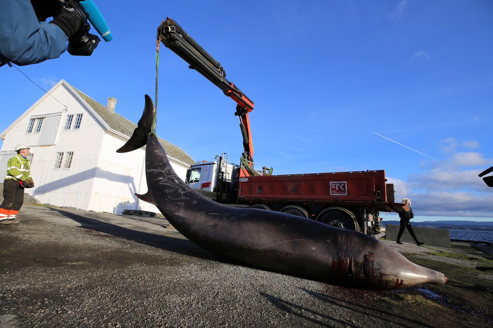 BILTRANSPORT: Gåsenebbhvalen var syk og måtte avlives i fjørekanten på Sotra. Deretter ble den transportert med lastebil til Blomsterdalen vest i Bergen.