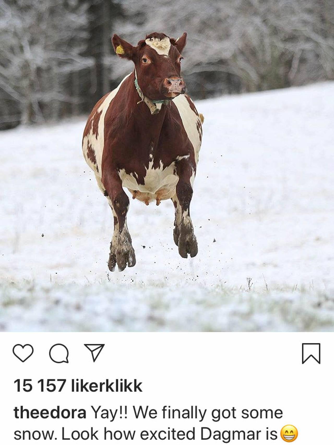 Kua Dagmar hopper i snøen