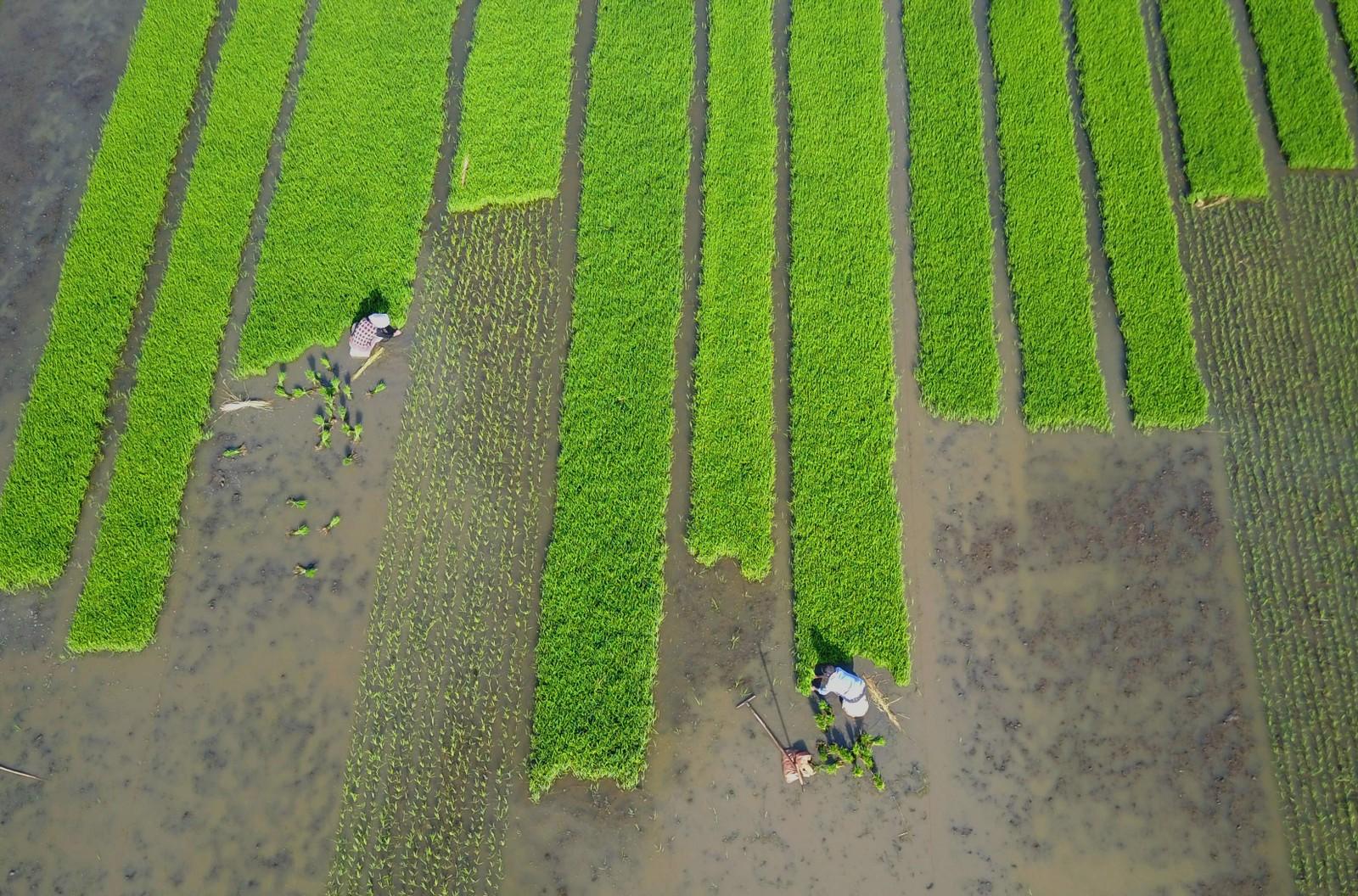 Så gjør de så når de planter sin ris, innbyggerne i Kinas østligste provins, Jiangsu.