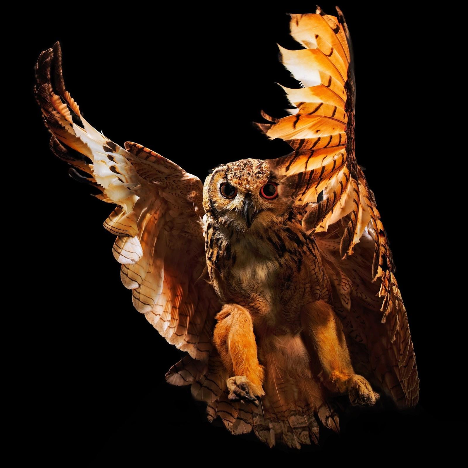 """Bengal Eagle Owl"" av Thomas Morel"