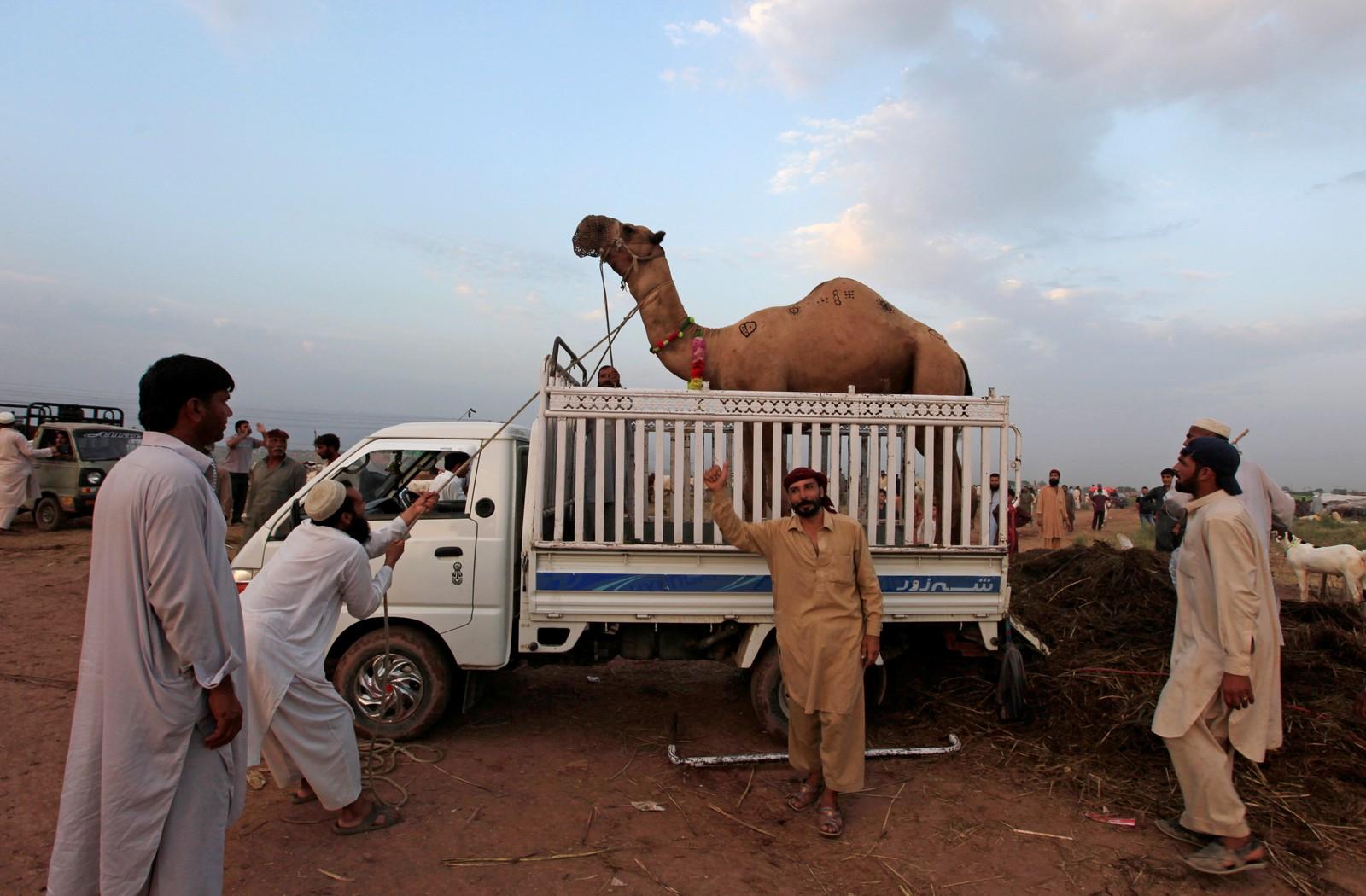 En kamel er kjøpt ved dyremarkedet i Islamabad i Pakistan i forbindelse med eid.