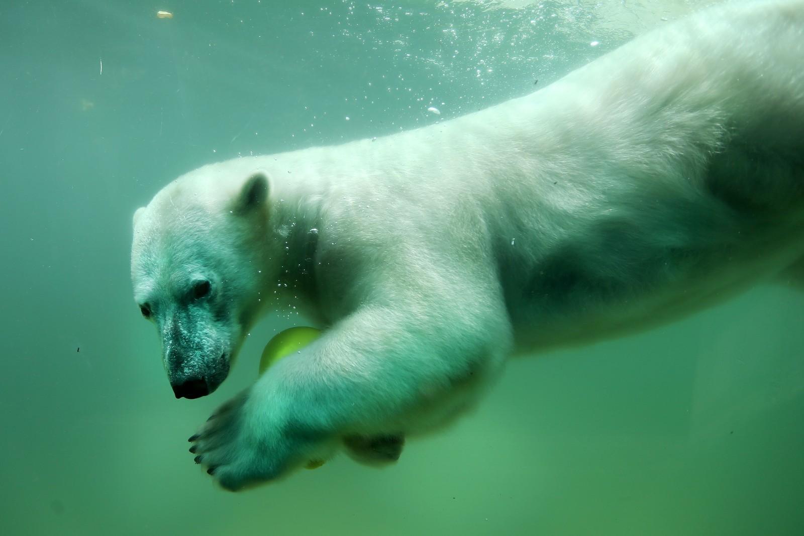 En isbjørn vokter sin ball foran et vindu i dyrehagen i tyske Wuppertal, der publikum kan observere dyret under vann.