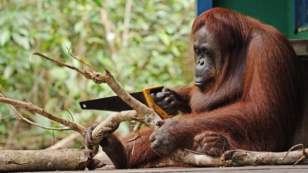 Vill orangutang lærte seg å sage
