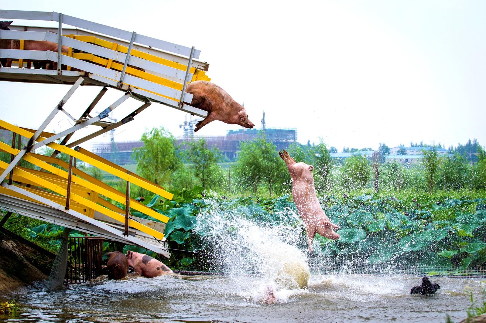 Dagens bad på en grisegård i Shenyang i Kina.