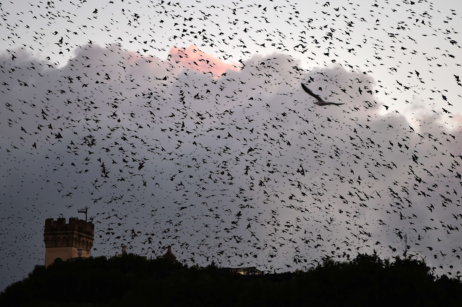 Starlings migrating from northern Europe fly over Rome on November 3, 2014. About one-million starlings migrate in Rome during autumn and winter time and draw beautiful patterns in the sky before spending the nights in the trees by the Tiber river, creating chaos in the neighborhood with their droppings.