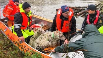 Sauer reddes ut av elva Surna i Møre og Romsdal