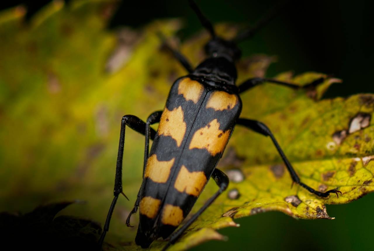Nærbilde av en bille med striper. Den ser nesten litt ut som stripende som soldater har når de er sersjanter.