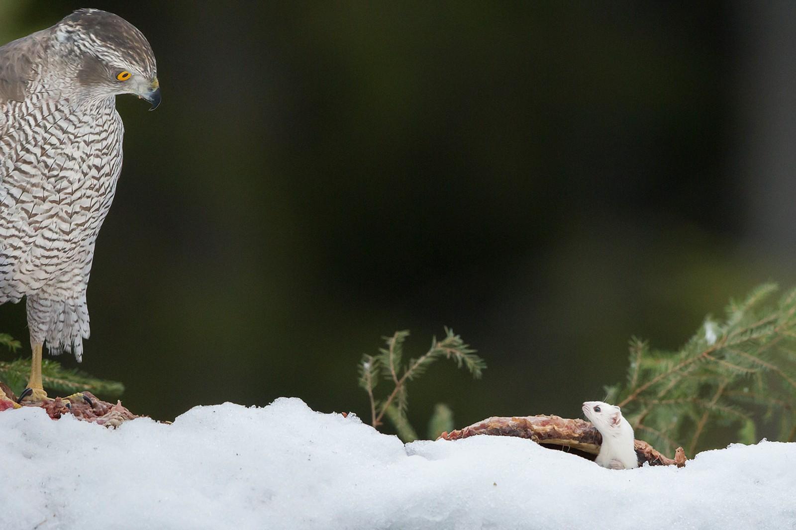 Vinner av årets nordiske fuglebilde ble Niclas Ahlberg.