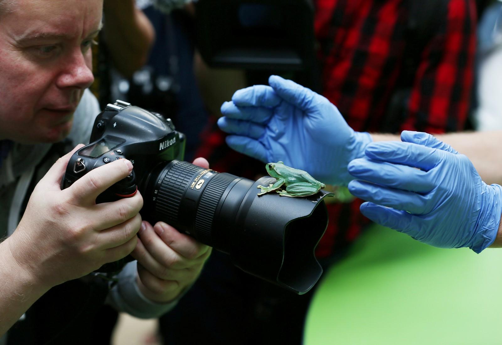 Denne frosken så ut til å være mer interessert i fotografen enn vekta på den årlige veiinga i London Zoo.