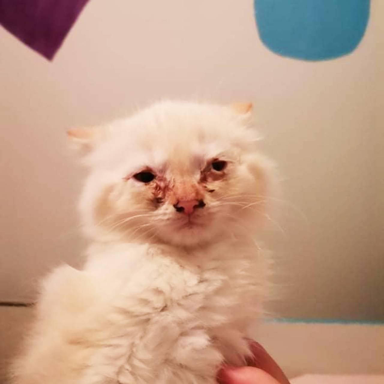 Katt med augebetennelse