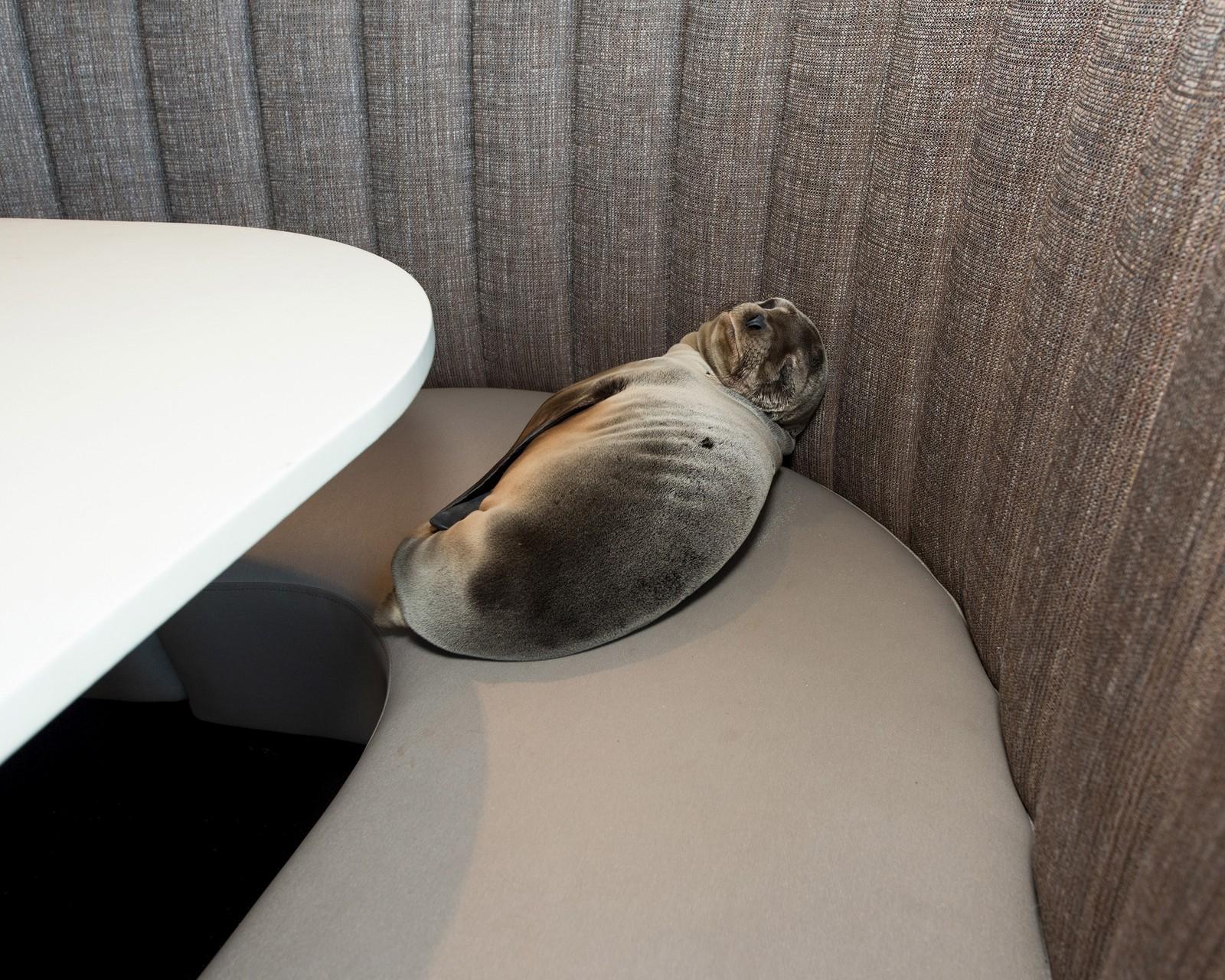 En åtte måneder gammel sjøløve ble torsdag funnet sovende i en bås på restauranten Marine Room i La Jolla i San Diego, California. Personale fra den nærliggende SeaWorld-parken ble tilkalt, og tok seg av den uvanlige gjesten. Hvordan den havnet i denne situasjonen er ikke kjent.