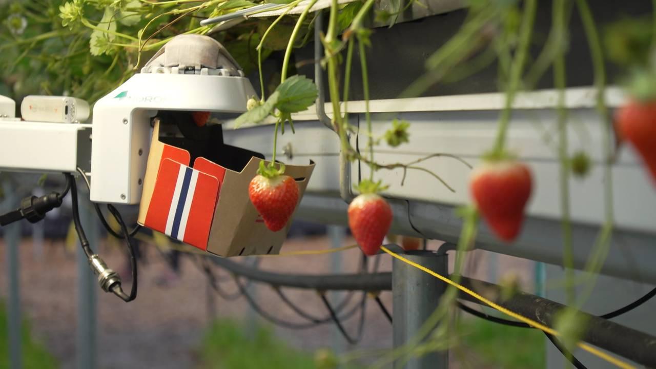 Jordbærpukking med robot