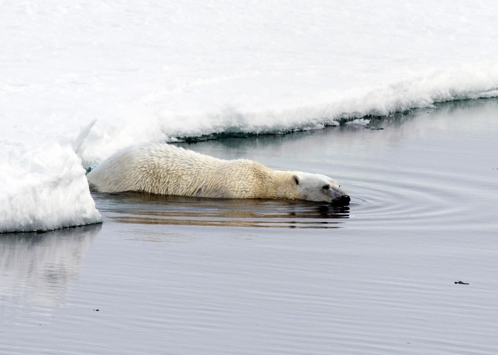 VED ISKANTEN: Isbjørnen finner mat der isen møter havet, og flytter seg derfor etter iskanten når den trekker seg frem og tilbake om vinteren og sommeren.