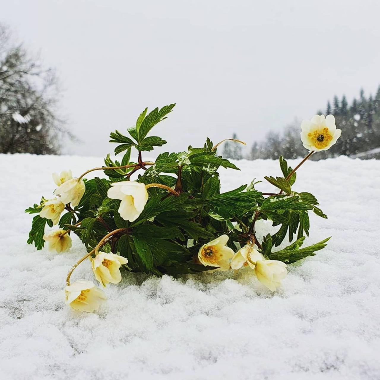 Blomster i snø.