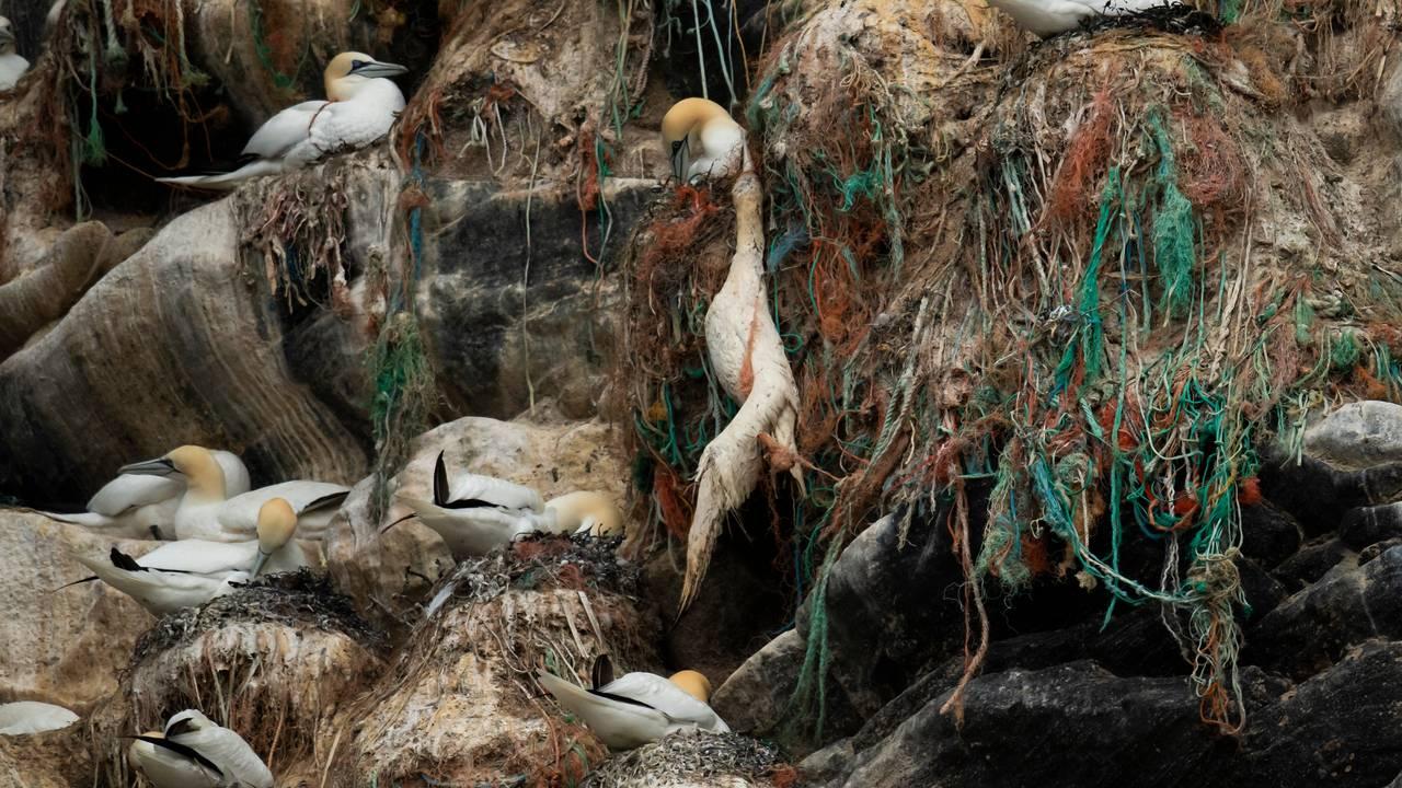 Død havsule på fulgefjellet på Runde
