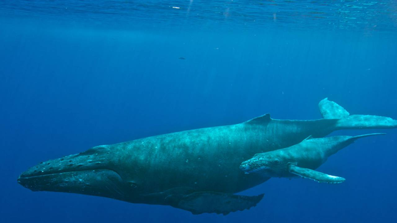 En knølhval-mor og kalven hennes, sett under vann