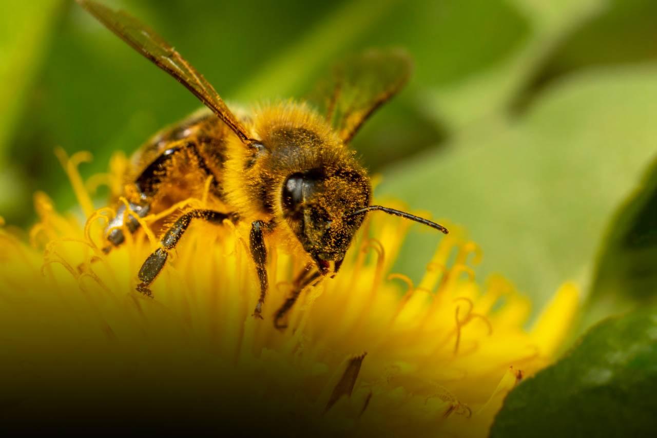 Nytt bilde av den hårete honningbien. Den går rett mot oss, full av bittesmå pollenkorn.