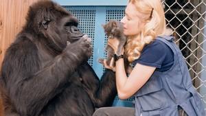 Koko - den snakkande gorillaen