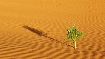 Plant in Sahara desert