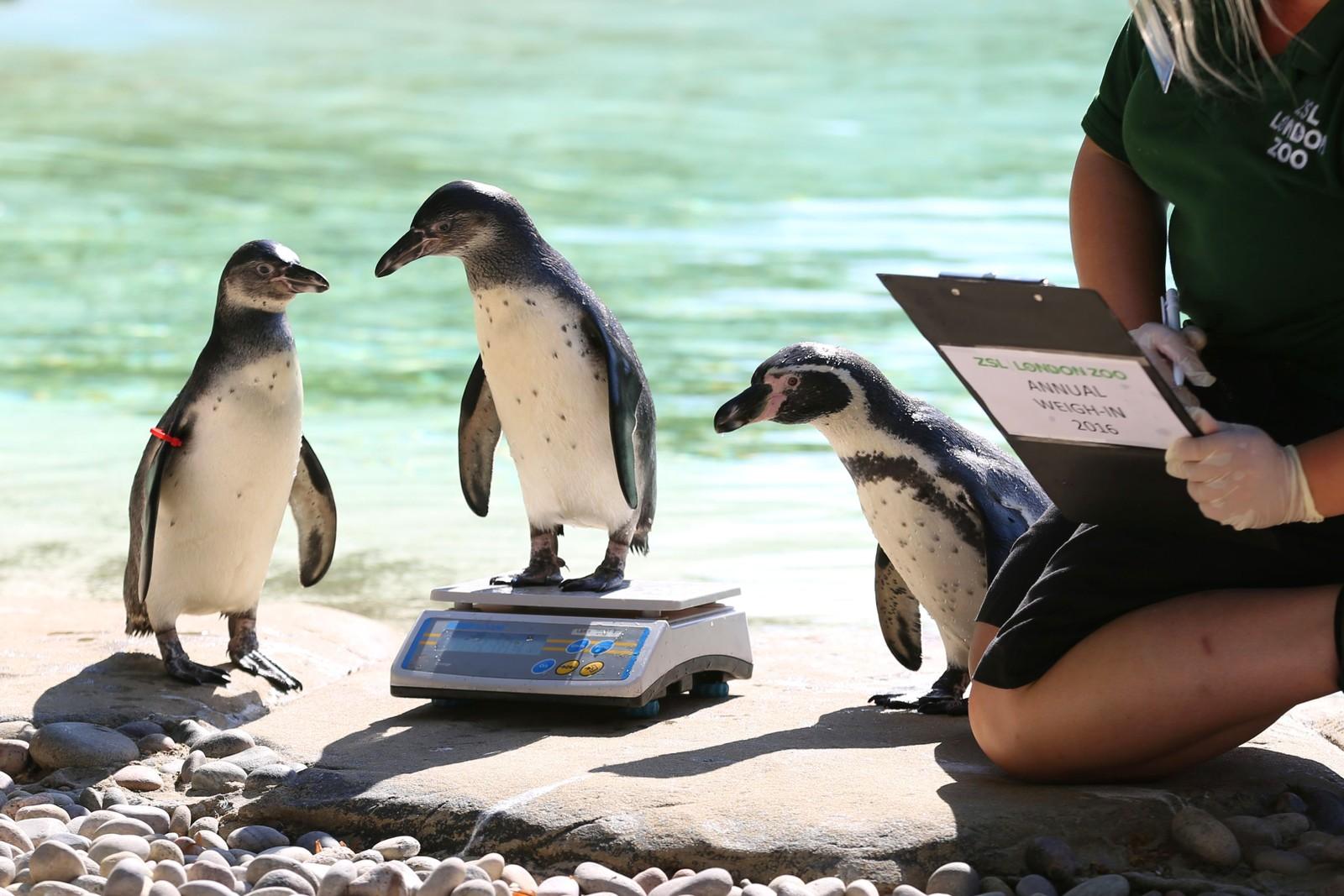 Pingvinen Bracchino må gjennom den årlige vektsjekken ved London Zoo i England den 24. august. Dette er verdens eldste vitenskapelige dyrepark og ble åpnet i 1828. Det er over 700 dyrearter her. Med jevne mellomrom måler dyrepasserne blant annet høyden og vekten til dyrene. Informasjonen deles med dyreparker over hele verden for å sammenligne data om truede dyrearter.