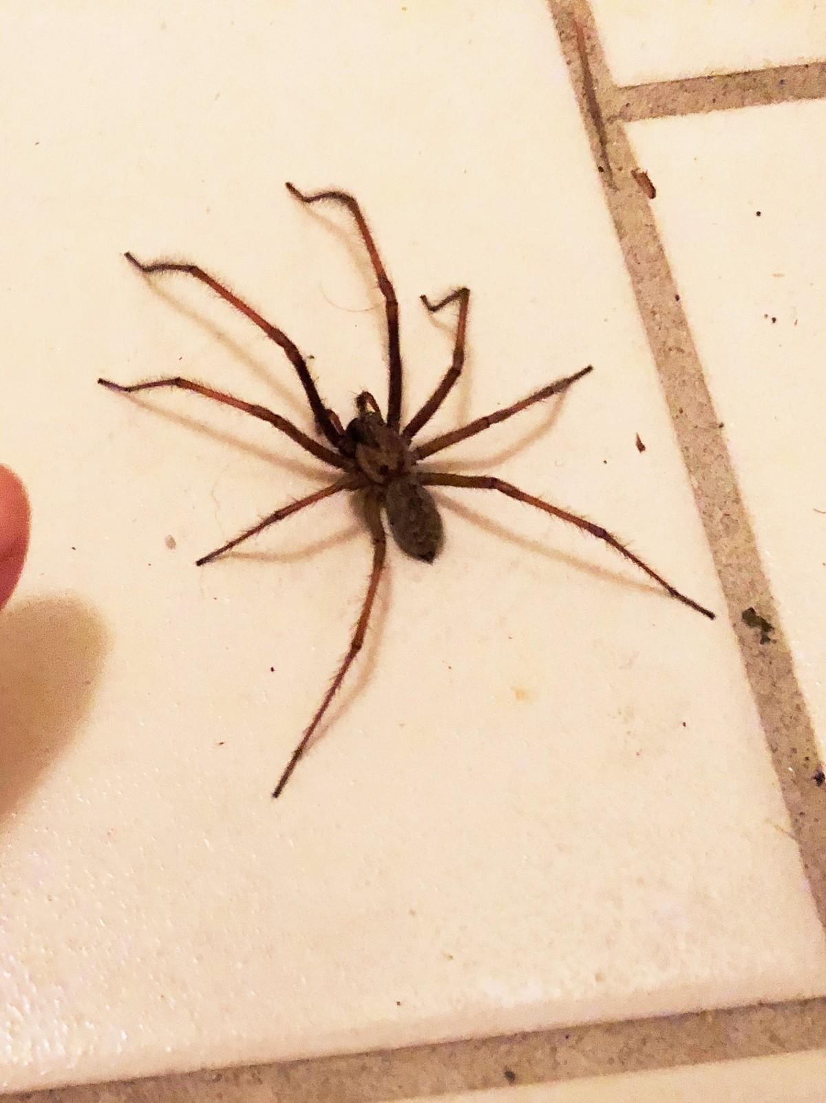Største Edderkopp I Norge