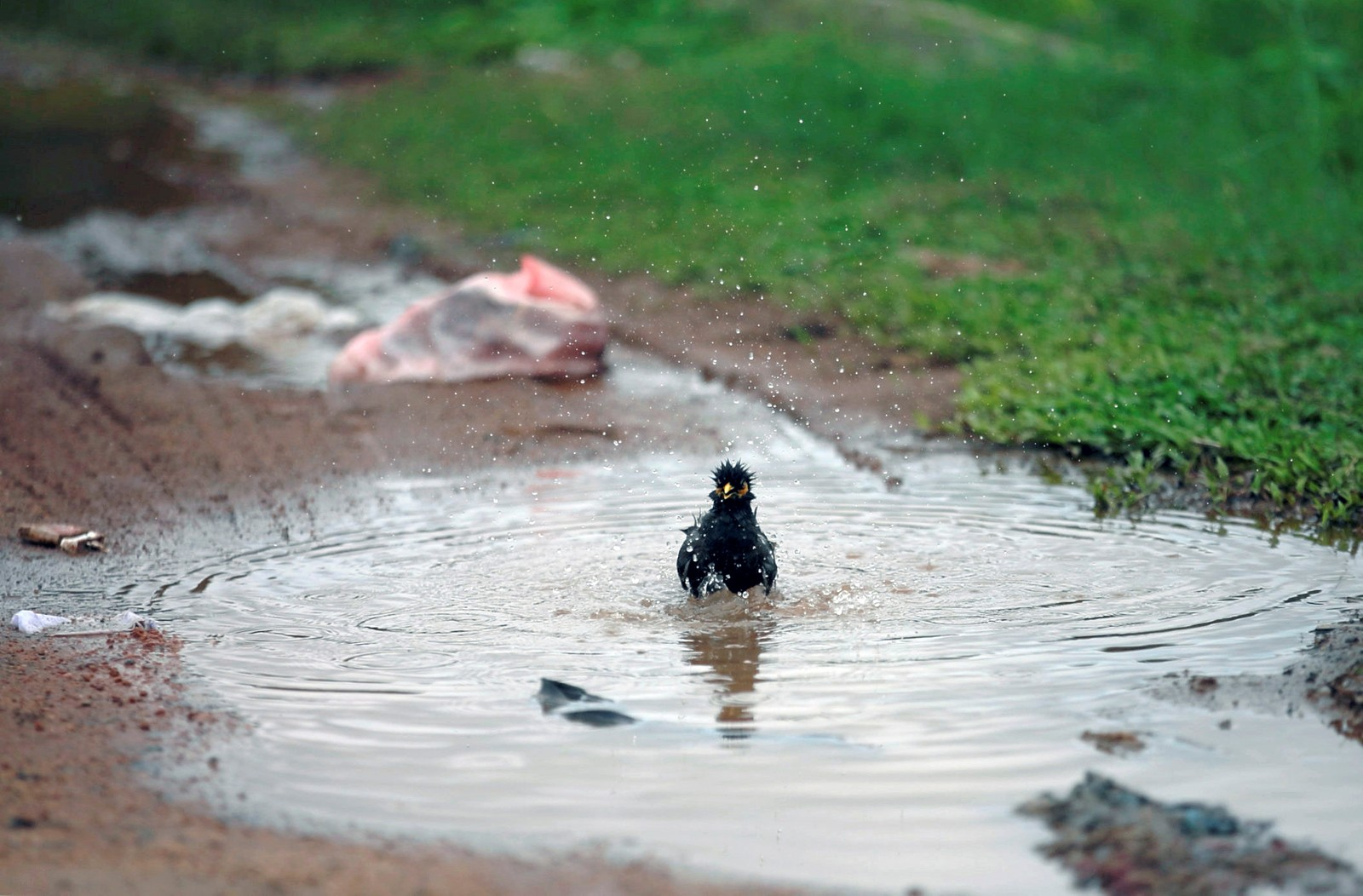 Ikke bare på Østlandet det regner for tida. Denne fuglen tar seg en dukkert i Colombo, Sri Lanka.