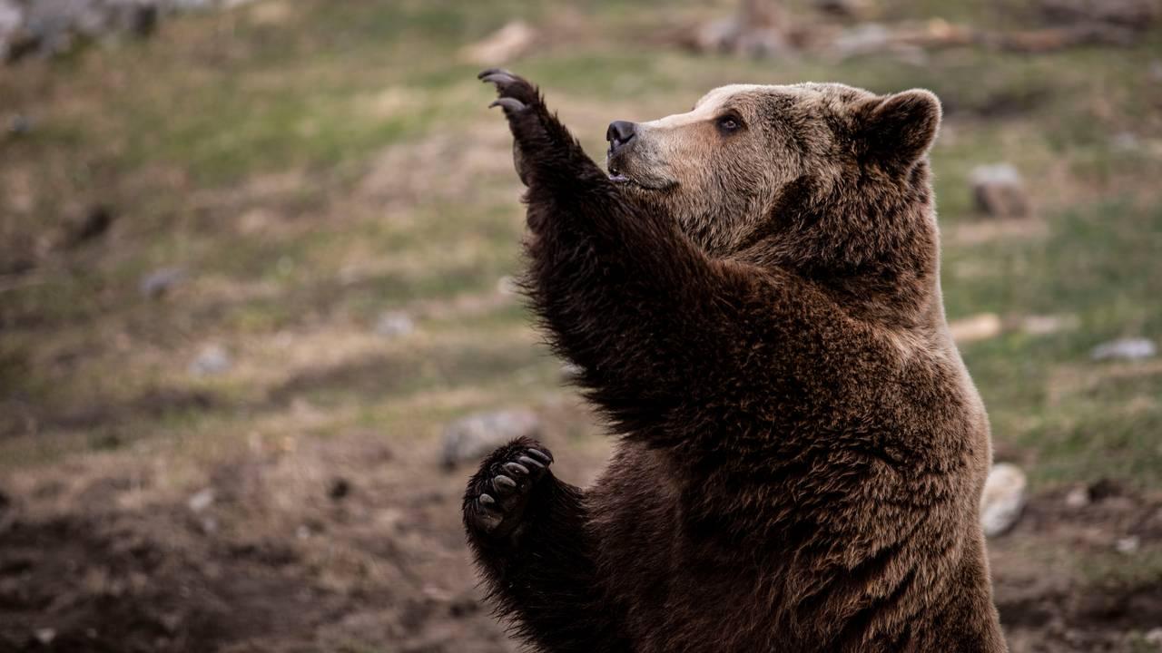 Bjørn i Bjørneparken i Flå.