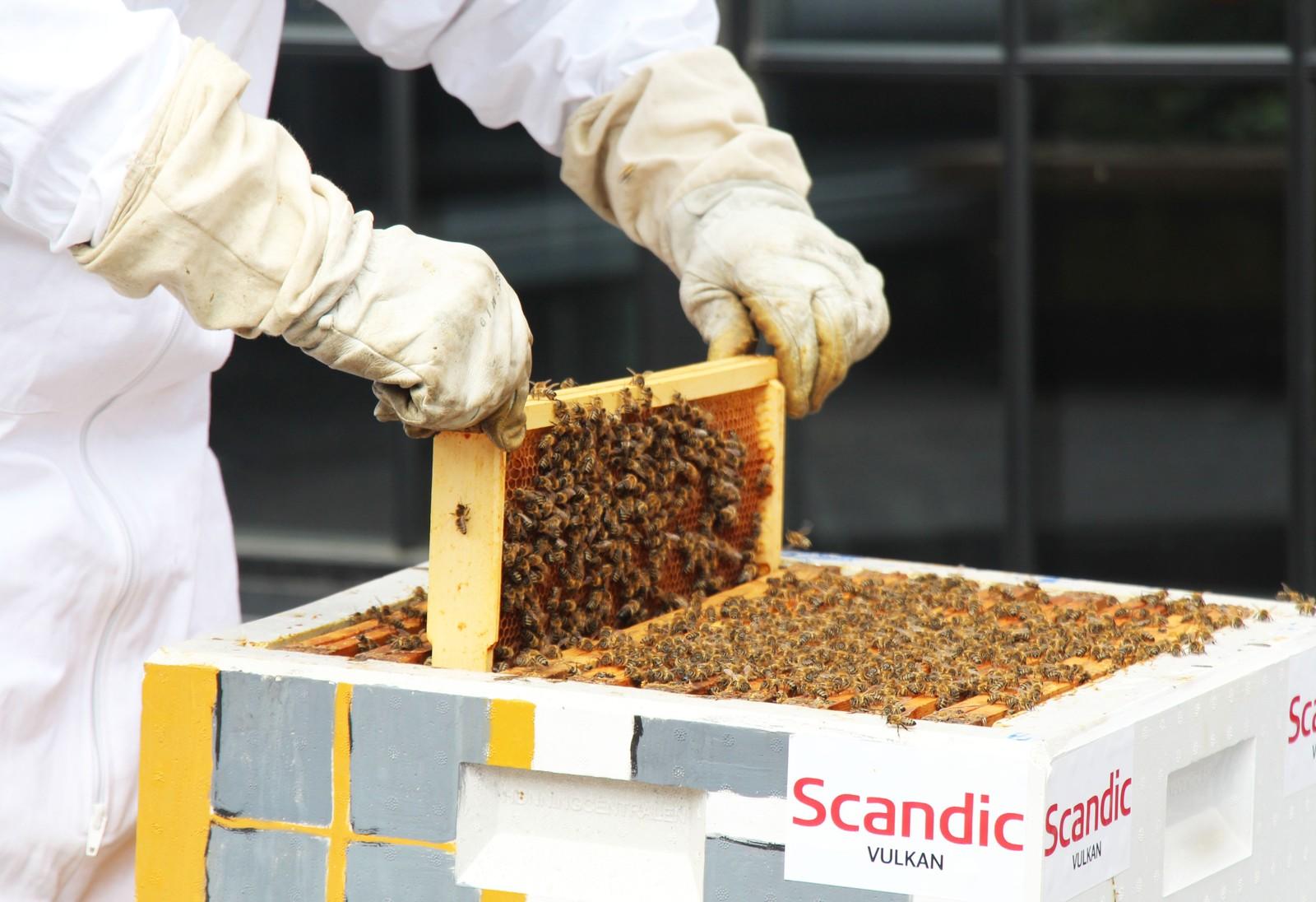 Bie-fun-fact fra leksikonet: Noen bier bygger reir i kolonier, og her sees ofte begynnende trekk til ekte sosial atferd ved at hunnene utøver felles forsvar mot fiender eller at de har felles reiråpning (men separate reir).