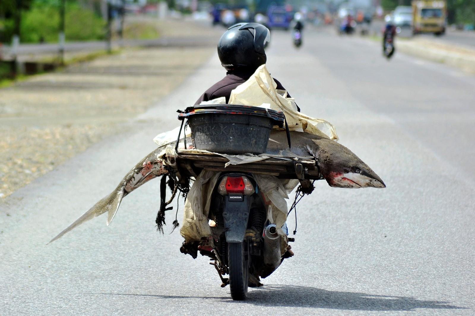 En fiskehandler frakter med seg varen, en hai, i Padang på Indonesia den 25. august.
