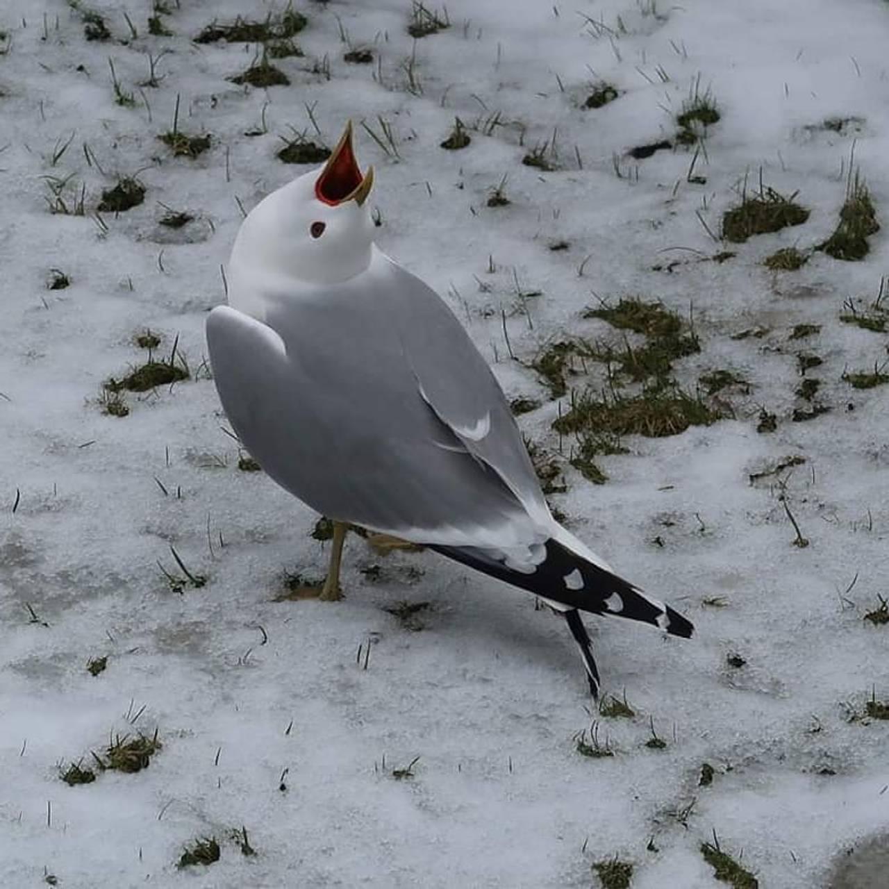 En måse står på den snødekte bakken og skriker mot himmelen.