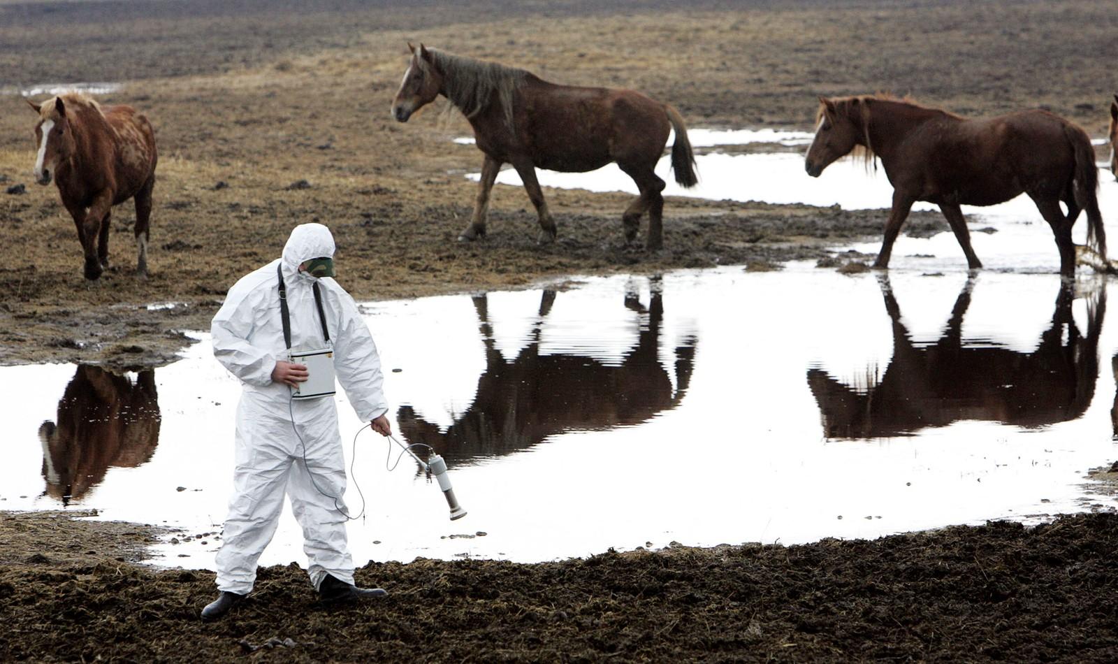 En hviterussisk arbeider i vernedrakt måler radioaktive nivåer inne i den hviterussiske vernesonen ved Tsjernobyl mens tre Przewalski-hester beiter i bakgrunnen.