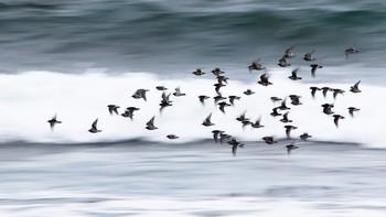 Fra slutten av september til april-mai kan man se flokker med fjæreplytt langs kysten av Nordland.