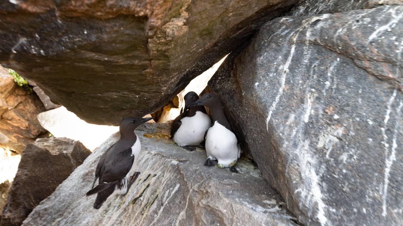 Lomvi i steinur på Hjelmsøya