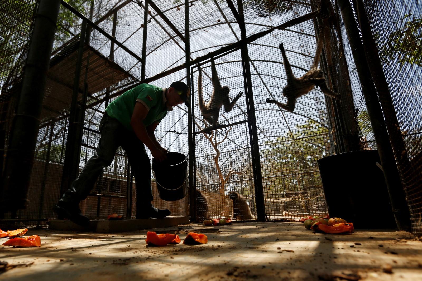 En dyrepasser mater to aper med en porsjon mat. Både mennesker og dyr er rammet av en akutt matkrise.