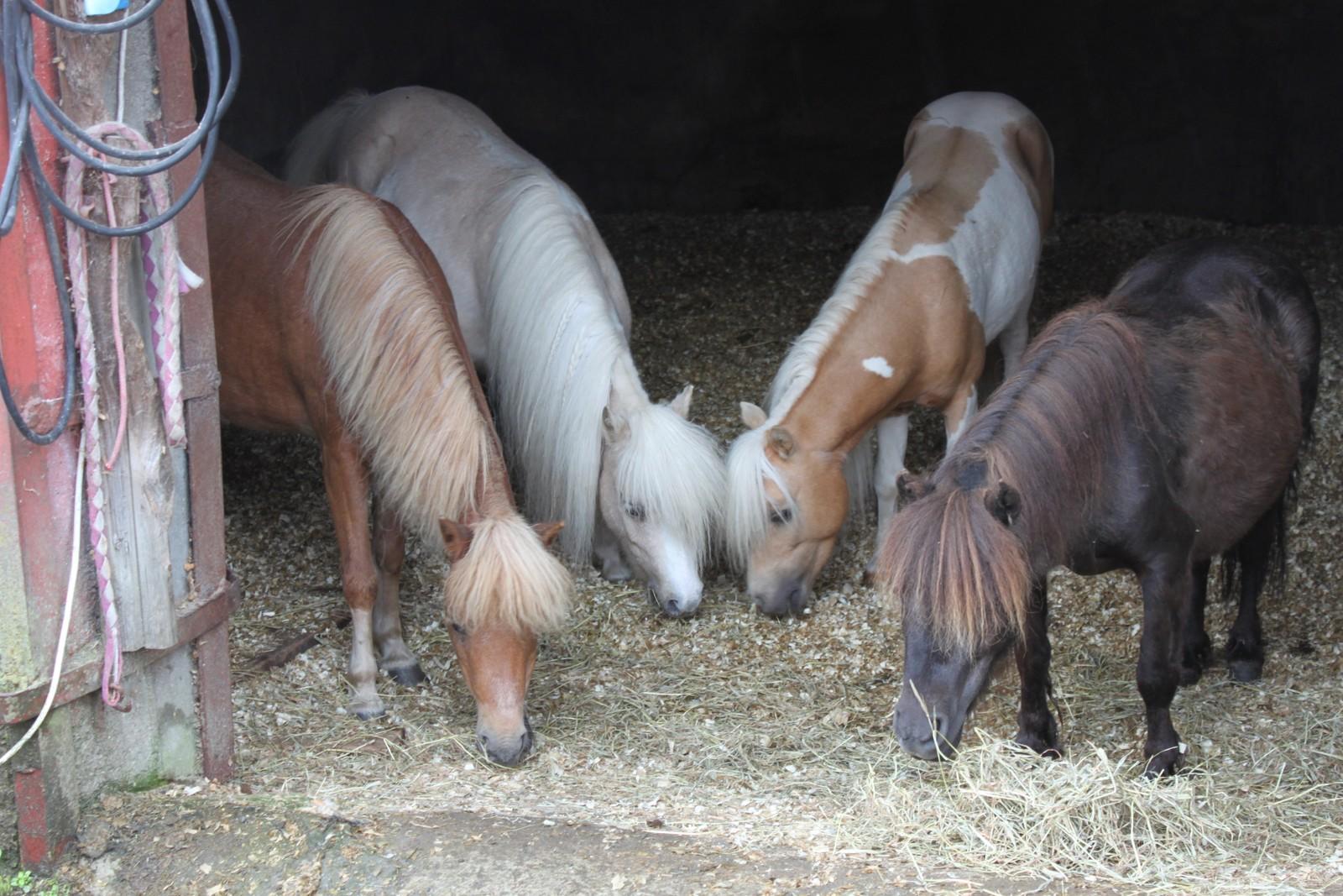 """ULIKE HESTERASAR: På """"Hestegarden"""" i Gaular er det ulike hestetypar. Desse er av ein liten hestetype, dei er ikkje ponniar. Ein kan ikkje ride på so små hestar, men hestane her er valde ut med tanke på lynne. Dei er sosiale, både med kvarandre og med folk. """"Dei møter deg heilt fordomsfritt, same korleis du ser ut"""" seier Linda Rognø."""