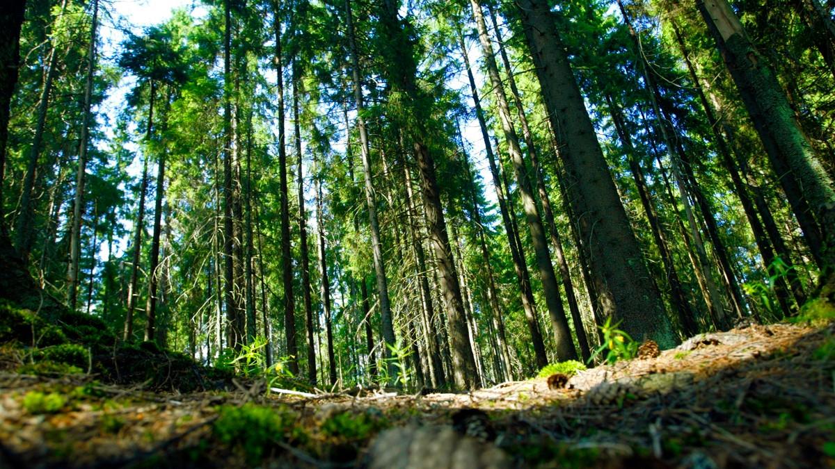 Skog - Foto: Åserud, Lise/SCANPIX