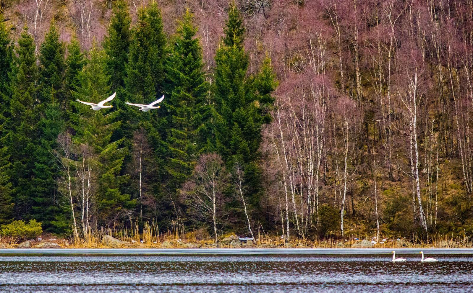 Svanene er tilbake i Eptavatnet i Eigersund.