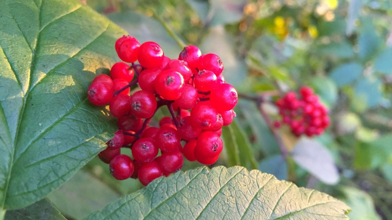 Rødhyll i Estenstadmarka
