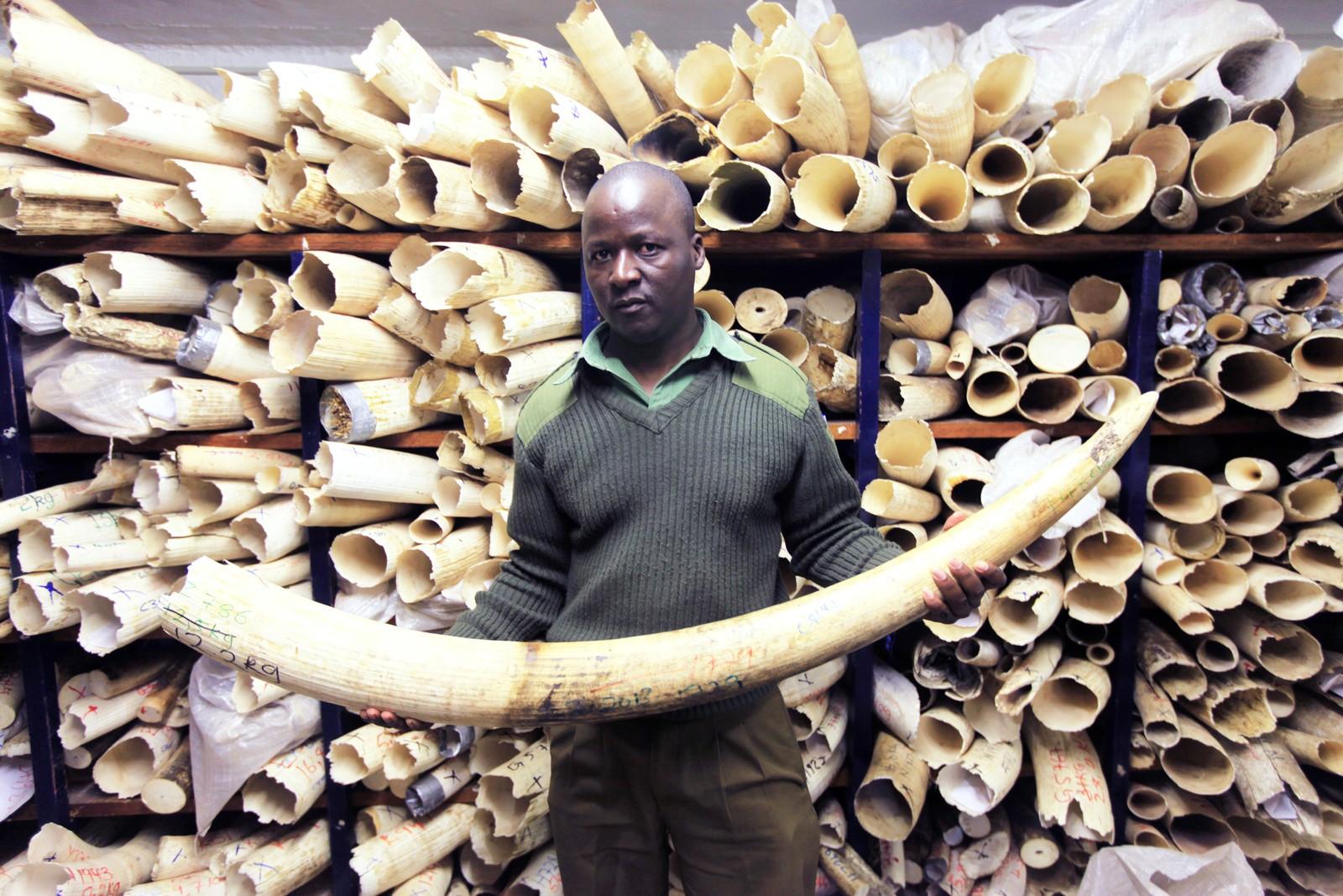Zimbabwe ghar et lager på 93 tonn med elfenben og arbeider med sikte på å få opphevet det internasjonale forbudet mot handel med elfenben. Dette bildet viser elfenben i hovedkvarteret til Zimbabwes nasjonalparker i Harare. Landet hra avvist å bernne elfenbenet.