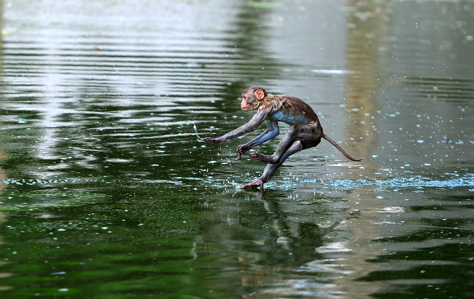 En ape søker tilflukt fra varmen i en dam i Allahabad i India. I følge lokale medier var det nesten 50 varmegrader der denne uka.