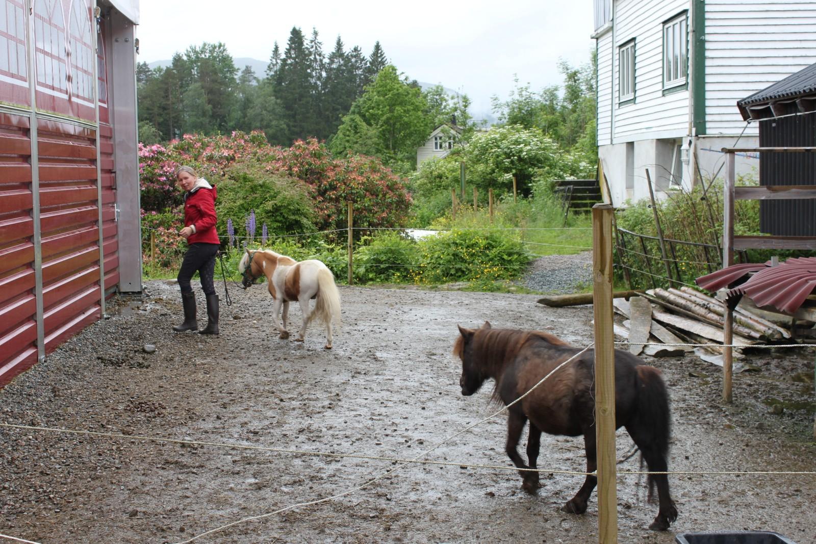 INN I MANESJEN: Ein eigen hestemanesje og aktivitetshall for dei som kjem på besøk er det óg på garden. Når det er tid for eine hesten å gjere litt veddelaupskunstar, fylgjer eine kameraten med inn.