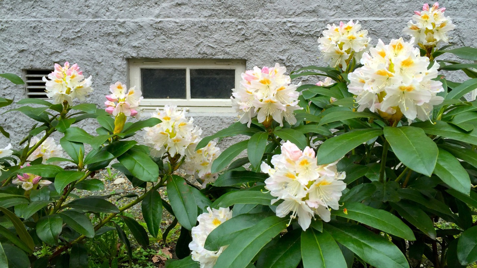 Rhododendron ved St. Jørgens Hus i Trondheim