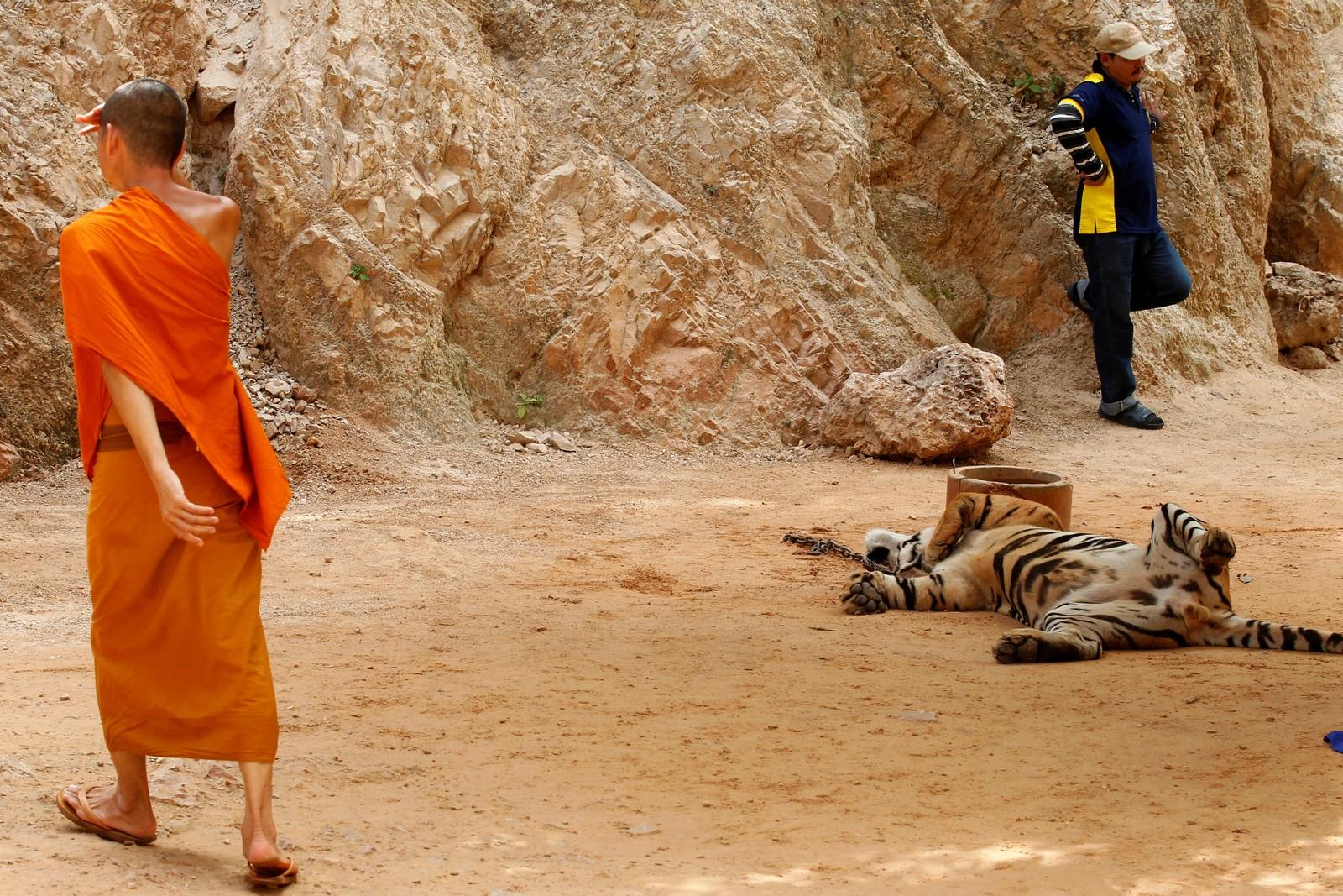 En buddhistisk munk går forbi en tiger før myndighetene begynner å flytte dem fra Thailands kontroversielle tigertempel, et populært turistmål som er kritisert de siste årene på grunn av dyras velferd. I Kanchanaburi-provinsen, vest for Bangkok, Thailand, 30. mai, 2016.