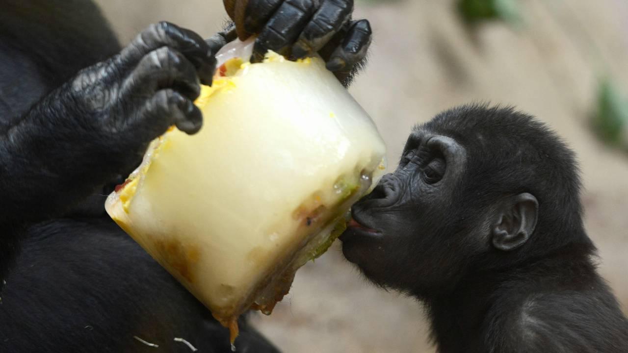 En babygorilla får smake fruktis