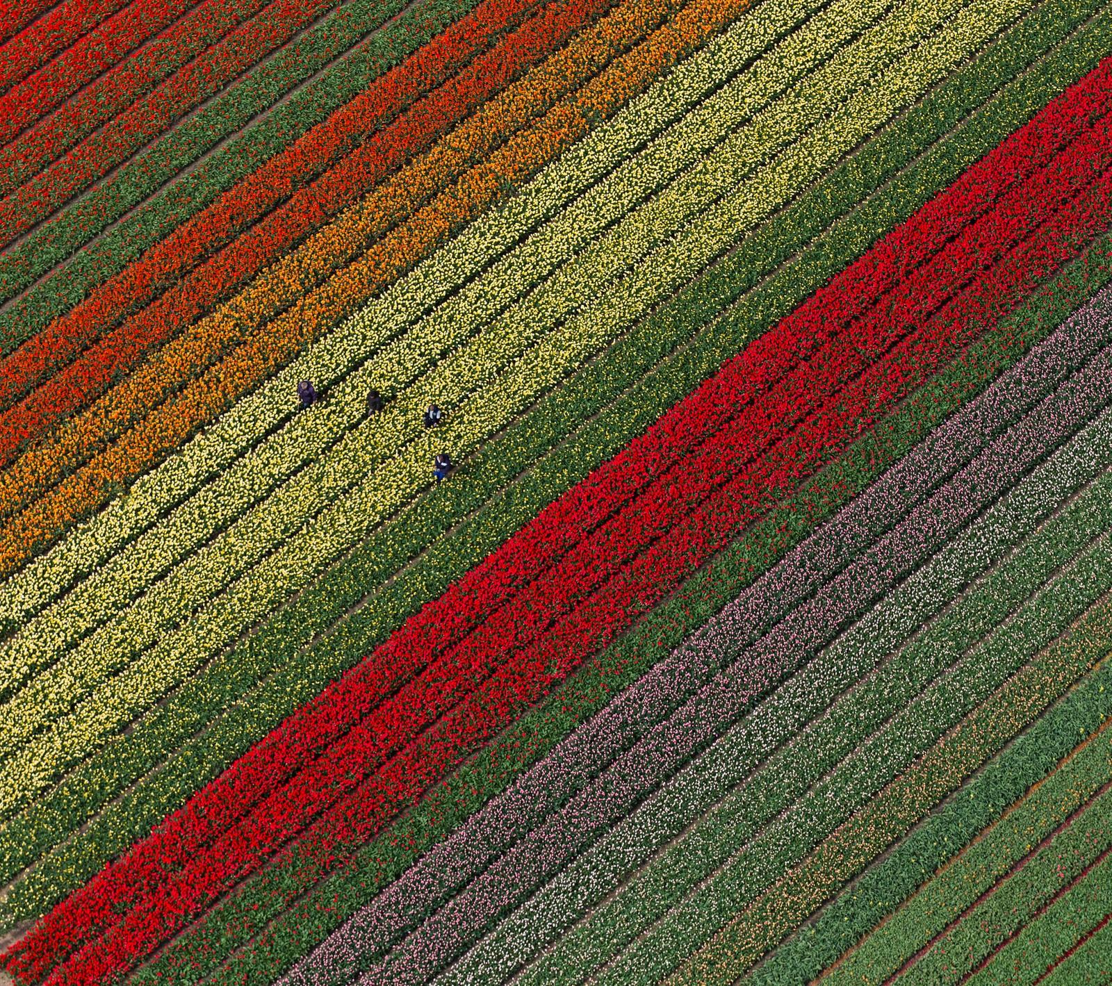 Tulipaner så langt øyet kan se i Lisse, rundt to mil utenfor Amsterdam. Over sju millioner blomster gror her.