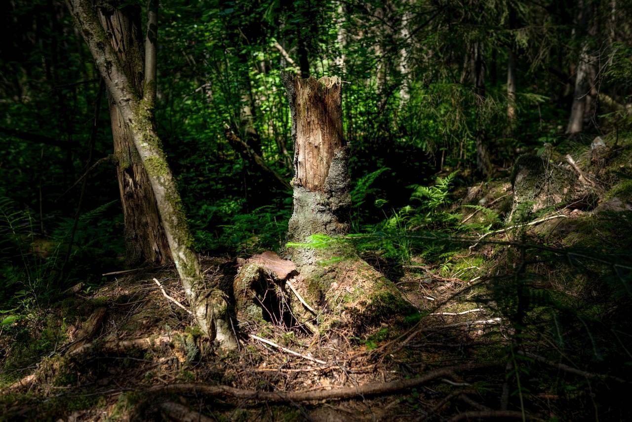 Et stående dødt tre. Store deler av barken har valtg av, treet er revet av på toppen. Det er masse hull i stammen. Tegn etter insekter som har bodd der.